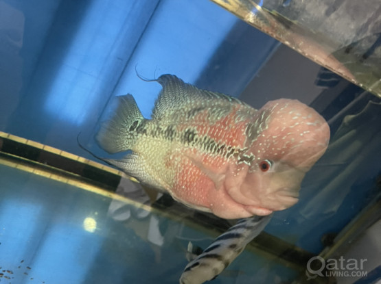 Aquarium With Flowerhorn Fish With Top Filter