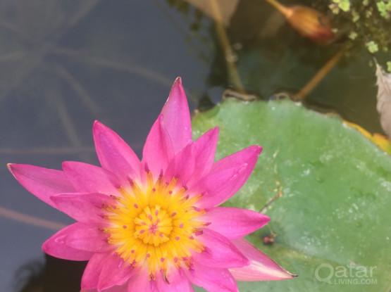 Garden - Water Plants Lillies