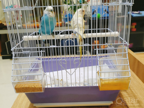 Beautiful budgie pair for sale with cage