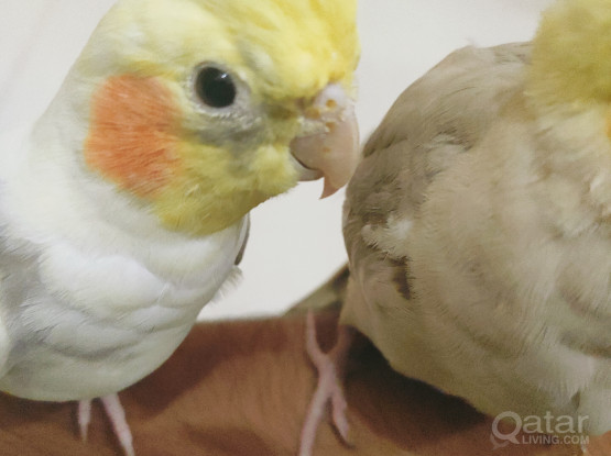 Adorable and cute cockatiel bird pair with cage  for sale.